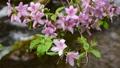 ツツジ咲く初夏の水辺風景 65832947