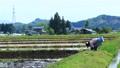 Woman doing rice planting work 65856437
