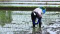 Woman doing rice planting work 65856438