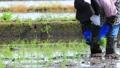 Woman doing rice planting work 65856439