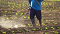Asian farmer working in the field and spraying chemical or fertilizer to young tobacco tree in sunset time 65870076