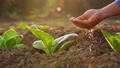 Close up hand giving water to young tobacco tree at the field in sunrise or sunset time. Growth plant concept 65870083