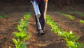 Asian farmer working in the field and giving fertilizer by digging tool into the soil for young tobacco tree 65870084