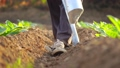 Asian farmer working in the field and giving fertilizer by digging tool into the soil for young tobacco tree 65870086