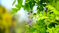 Closeup of wisteria sinensis plant swaying in the wind over natural green background. 65888753
