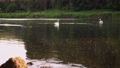 Scenic 4K video of swans on the river with may and stone flies chaos above water surface 65919268