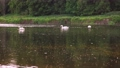 Scenic 4K video of swans on the river with may and stone flies chaos above water surface 65919269