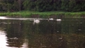Scenic 4K video of swans on the river with may and stone flies chaos above water surface 65919271