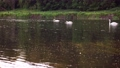 Scenic 4K video of swans on the river with may and stone flies chaos above water surface 65919272
