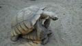 Giant Tortoises mating 66025370