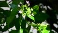光と風、揺れるダンスパーティー、咲き始めました、新緑、花イメージ素材 66120360