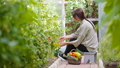 Young woman with basket of greenery and vegetables in the greenhouse. Time to harvest. 66160838