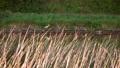 Grey Heron bird hunting on the river bank in dusk, 4K video 66186894
