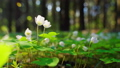 White Oxalis flowers swaying in the wind in the spring coniferous forest. Nature season background 66211886