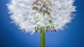 One dandelion blooms with white fluffy pappus seeds on a blue backgrounds. Time lapse of a blowball flower close up 66211891