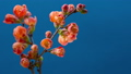 A sprig of Japanese quince bush (Beautiful quince, Chaenomeles japonica) blooms in red-orange flowers on a blue background in spring. Time lapse of blooming spring flowers.  66211892