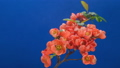 A sprig of Japanese quince bush (Beautiful quince, Chaenomeles japonica) blooms in red-orange flowers on a blue background in spring. Time lapse of blooming spring flowers.  66211893