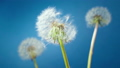 Three blossoming white dandelions on a blue background. Wind carries the white dandelion pappus seeds slow motion. 66211894