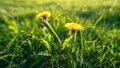 Two Dandelion flowers bloom at dawn. Flower blooming process. Taraxacum platycarpum time lapse 66211898