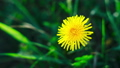 One Dandelion bloom at dawn. Flower blooming process time lapse. Top view. Taraxacum platycarpum 66211899