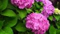 ピンク色のアジサイの花 66338360