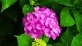 ピンク色のアジサイの花 66338361