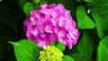 ピンク色のアジサイの花 66338362