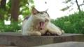 大きなあくびをする野良猫 夏の公園にて 66363319