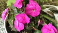 Closeup slow motion of water drops falling on petals of pink impatiens (busy lizzie) flower. 66370936