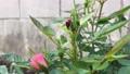 アブラムシを捕食するてんとう虫とそれを邪魔するアリ 66379513