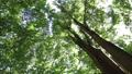 在樹林裡抬頭看著風搖曳的樹木 66394546