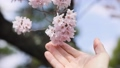 春 桜を触っている spring cherry blossom japan 66504540