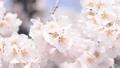 春 桜が揺れている spring cherry blossom japan 66504541