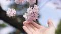 春 桜を触っている spring cherry blossom japan 66504542