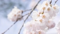 春 桜が揺れている spring cherry blossom japan 66504544