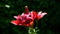 風に揺れる赤い百合、木漏れ日、光、揺らぎ、ユリ、花イメージ素材 66622250