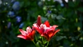 風に揺れる赤い百合、紫陽花の季節、木漏れ日、光、揺らぎ、ユリ、花イメージ素材 66622252