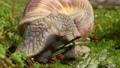 Helix pomatia also Roman snail, Burgundy snail 66709971