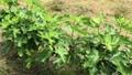 日本のイチジク栽培は、木の枝を低位置に横に伸ばします 66732714
