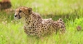 Alert cheetah sitting on field in forest 66733701
