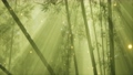 asian bamboo forest with morning fog weather 66836008