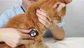 猫に聴診器をあてる獣医師の手元 66842005