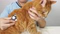猫に聴診器をあてる獣医師の手元 66842034