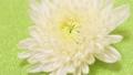 回転する白い菊 66846069
