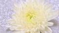 回転する白い菊 66846355
