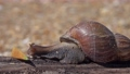 African giant snail Achatina eating apple fruit 66921570
