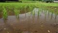 水中昆虫の住む田んぼ 67132994