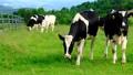 富士山の見える牧場 牛 67148853