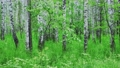 Admirable birch forest at summer 67183569