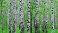 Admirable birch forest at summer 67183571
